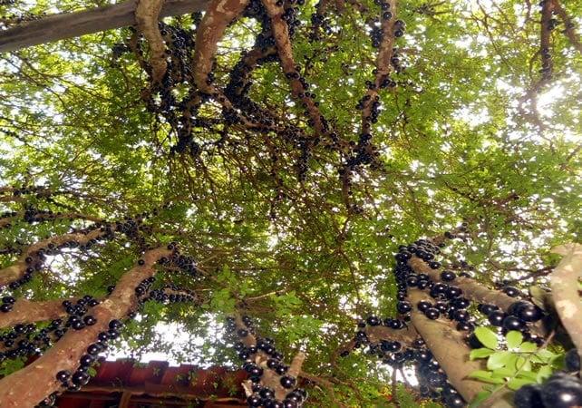 Jabuticabas na árvore